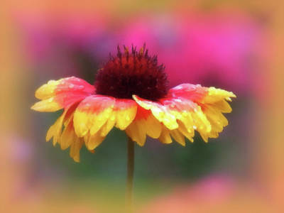 Photograph - Gaillardia And Pink - Brush Strokes - Daisy by MTBobbins Photography