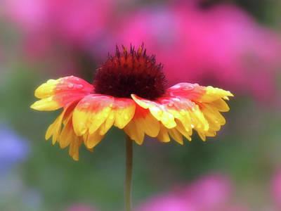 Photograph - Gaillardia And Pink - Close Up - Daisy by MTBobbins Photography