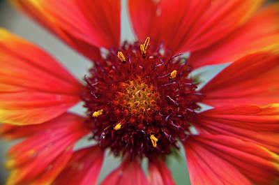 Photograph - Gaillardia by Brenda Jacobs