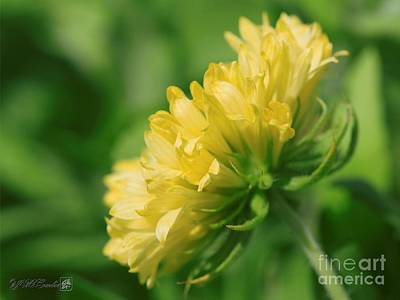 Photograph - Gaillardia Pulchella Named Sundance Yellow by J McCombie