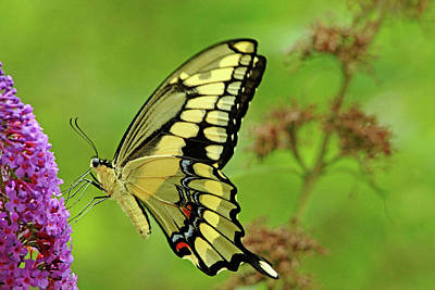 Photograph - Gaint Swallowtail On Buddleia by Debbie Oppermann