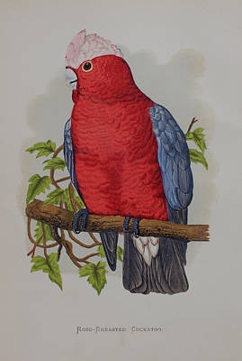 Cockatoo Drawing - Galah Cockatoo - 1884 by Greene's Parrots