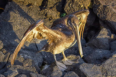 Photograph - Galapagos Brown Pelican by John Haldane