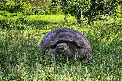 Photograph - Galapagos Giant Tortoise by John Haldane
