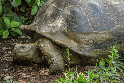 Photograph - Galapagos Giant Tortoise by Venetia Featherstone-Witty