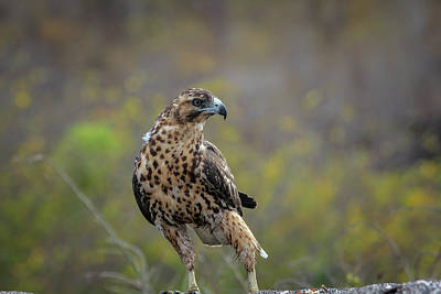 Photograph - Galapagos Hawk by Gary Hall