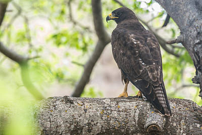 Photograph - Galapagos Hawk by Harry Strharsky