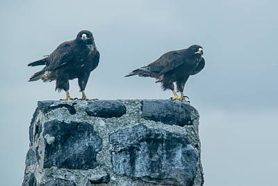 Photograph - Galapagos Hawks by Harry Strharsky