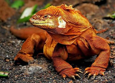 Galapagos Iguana Art Print by Rod Jellison