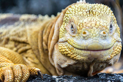 Land Iguana Photograph - Galapagos Land Iguana Face by Jess Kraft