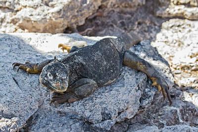 Photograph - Galapagos Land Iguana by John Haldane