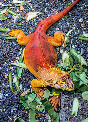 Photograph - Galapagos Land Iguana by Venetia Featherstone-Witty