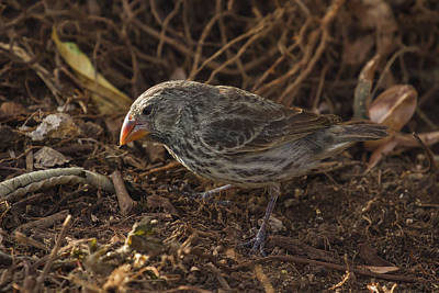 Photograph - Galapagos Large Ground Finch by John Haldane