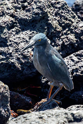 Photograph - Galapagos Lava Heron by John Haldane