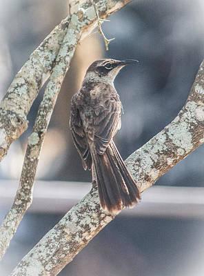 Photograph - Galapagos Mockingbird by Venetia Featherstone-Witty