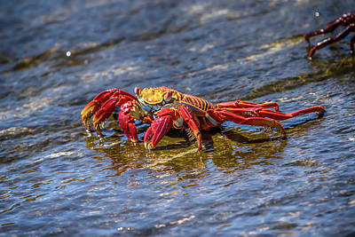 Photograph - Galapagos Sally Lightfoot Crab by John Haldane