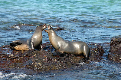 Photograph - Galapagos Sea Lion by Alan Lenk