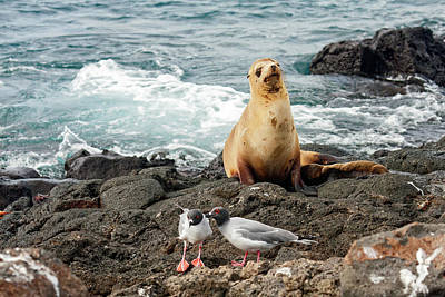 Photograph - Galapagos Sea Lion And Gulls by Sally Weigand