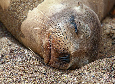 Photograph - Galapagos Sea Lion Face by Sally Weigand