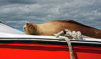 Photograph - Galapagos Sea Lion On Boat Deck by Sally Weigand