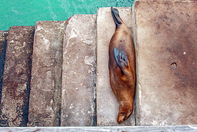 Photograph - Galapagos Sea Lion On Steps by Sally Weigand