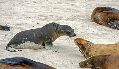 Photograph - Galapagos Sea Lions Discussing by Sally Weigand