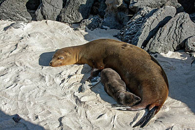 Photograph - Galapagos Sea Lions Mother And Young by Sally Weigand