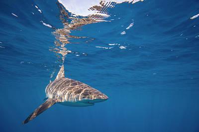Cage Dive Photograph - Galapagos Shark by John Coffey