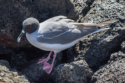 Photograph - Galapagos Swallow-tailed Gull by John Haldane