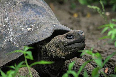Photograph - Galapagos Tortoise by Gary Hall