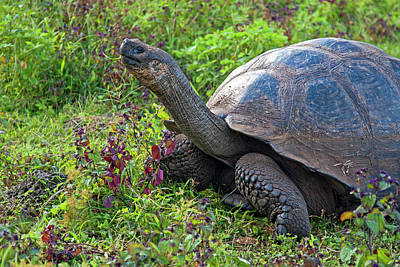 Photograph - Galapagos Tortoise Reaching High by Sally Weigand