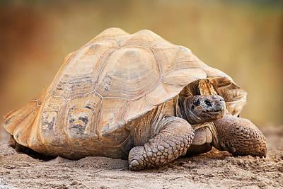 Galapagos Photograph - Galapagos Tortoise Side View by Susan Schmitz
