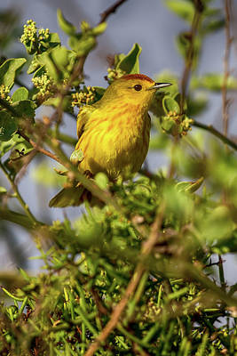 Photograph - Galapagos Yellow Warbler by John Haldane