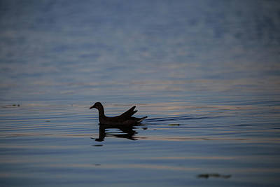 Photograph - Gallinule Silhouette Lake Okeechobee by Christopher L Thomley