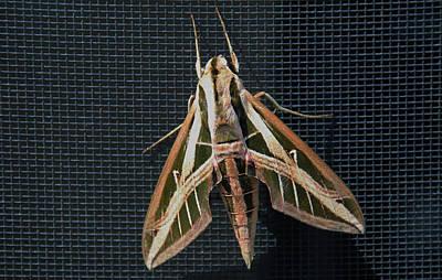Photograph - Gallium Sphinx Moth by Michiale Schneider