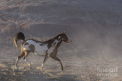 Pinto Horses Photograph - Galloping Pinto Horse by Jean-Louis Klein & Marie-Luce Hubert