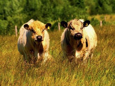 Photograph - Galloway Cattle - Scotland by Kathy Buscher