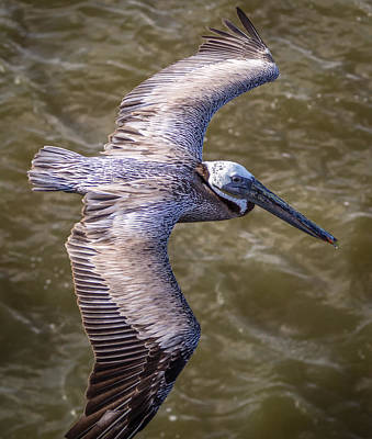Photograph - Galveston Pelican by Gregory Daley  PPSA