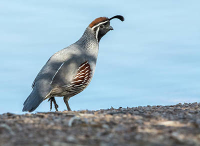 Photograph - Gambel's Quail 4125-040318-1cr by Tam Ryan
