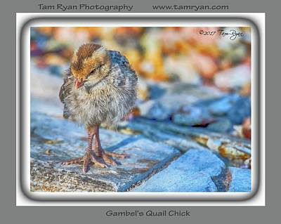 Photograph - Gambel's Quail Chick  by Tam Ryan