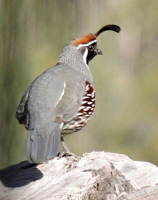 Photograph - Gambel's Quail by Grace Dillon