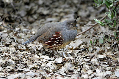 Photograph - Gambel's Quail Hen by Denise Bruchman
