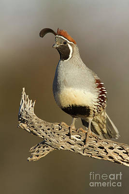 Animals Royalty-Free and Rights-Managed Images - Gambels Quail on cactus rib by Bryan Keil