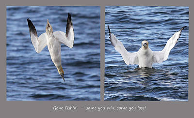 Digital Art - Gannet - Bad Day At The Office. by Pat Speirs