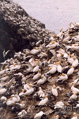 Photograph - Gannet Cliffs by Mary Mikawoz