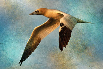 Photograph - Gannet In Flight 3 by WB Johnston