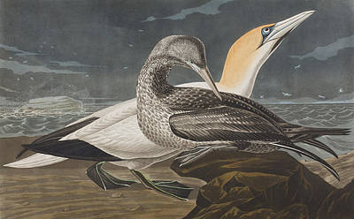 Sea Birds Drawing - Gannet  by John James Audubon