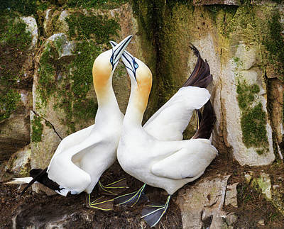 Photograph - Gannet Passion by Tracy Munson