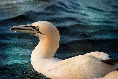 Photograph - Gannet Swim by WB Johnston