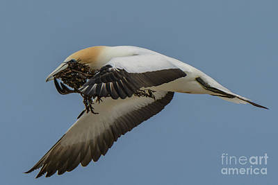 Art Print featuring the photograph Gannets 1 by Werner Padarin